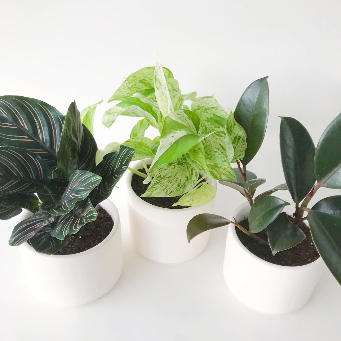 Calethia Plant, Marble Queen Pothos, and Rubber Plant in Handmade Ceramic Pots