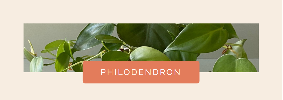 Philodendron Houseplant for Water Propagation