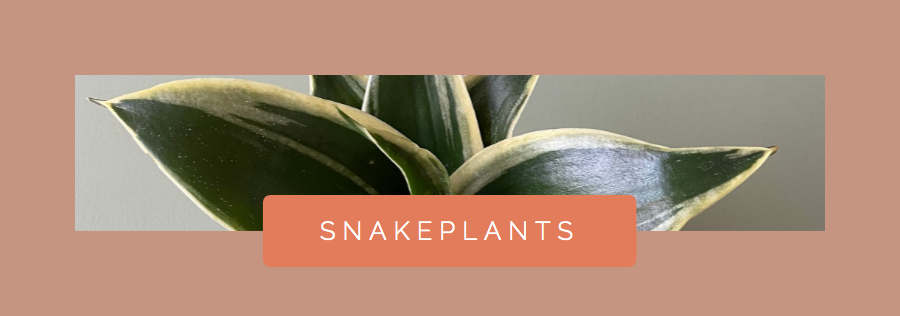 Snakeplant Houseplant For Water Propagation
