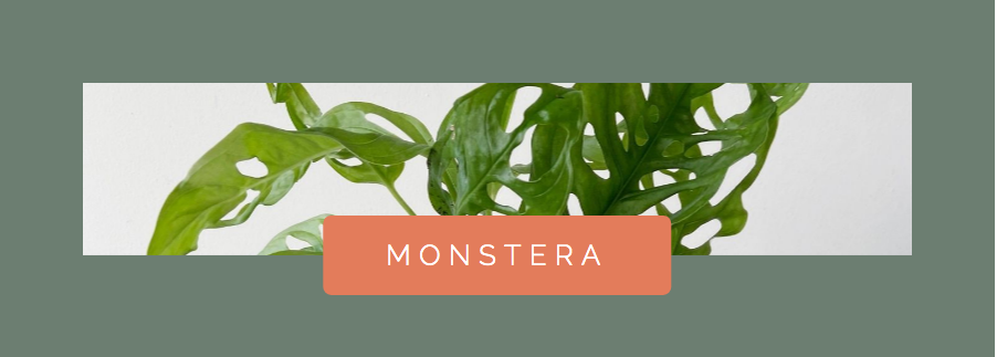 Monstera Houseplant for Water Propagation