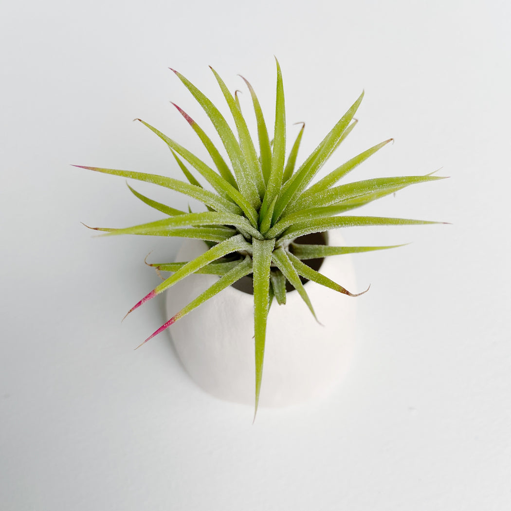 Red Tipped Tillandsia Mexican Fuego Air Plant in white handmade airplane holder