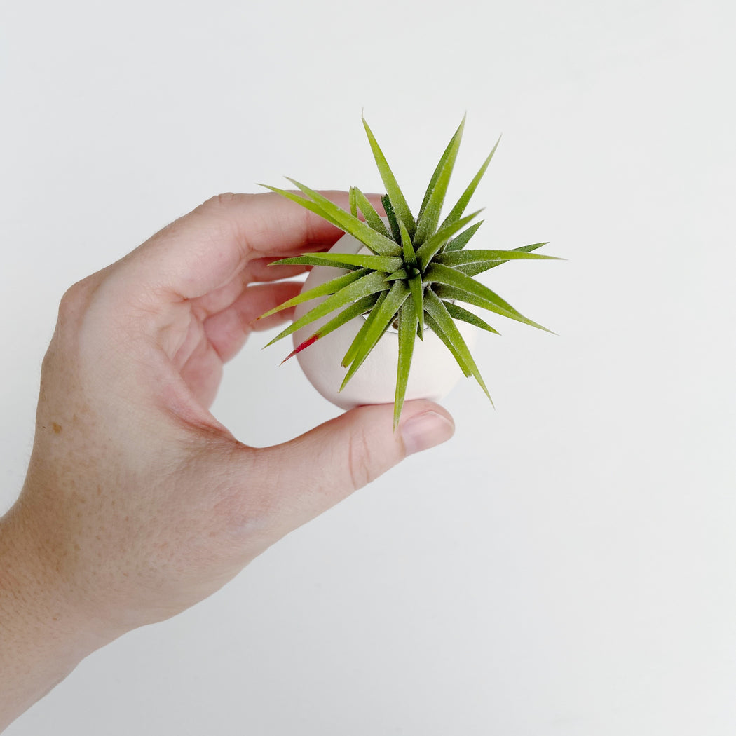 Hand holding easy to take care of airplant in airplant holder