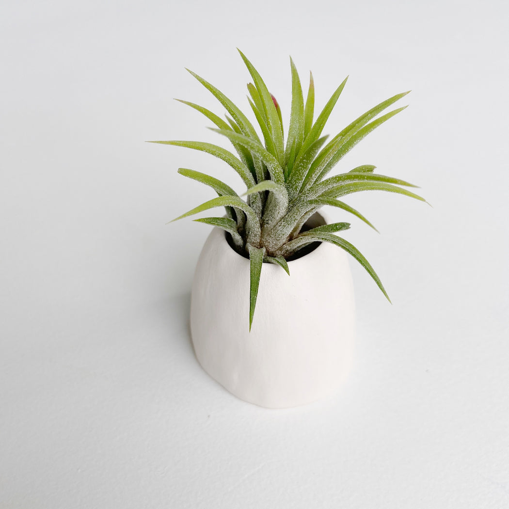 Tillandsia Mexican Fuego Air Plant resting in Handmade Ceramic Air Plant Holder