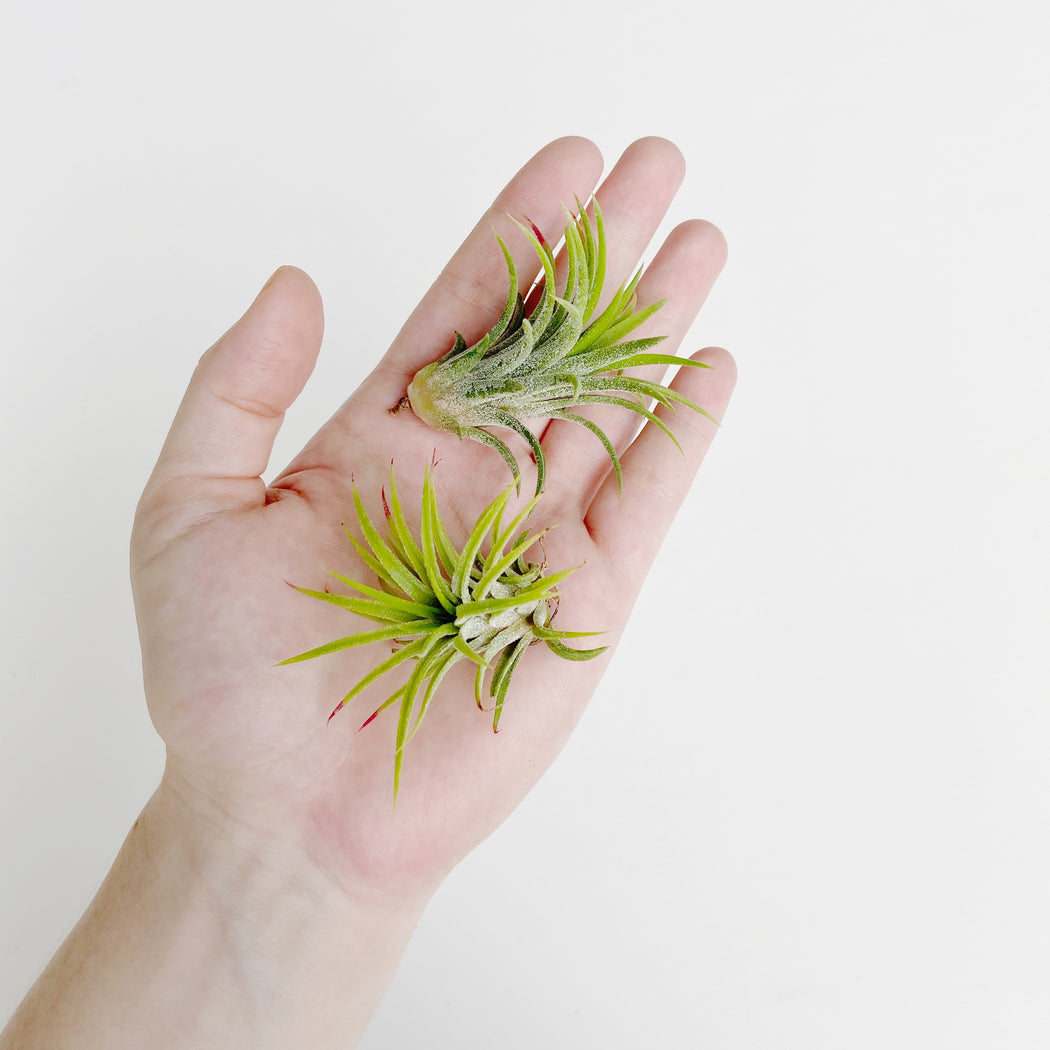 Two colorful, hardy airplants resting in a hand