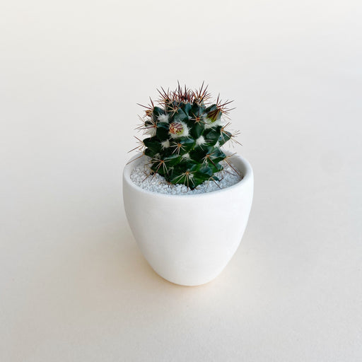 Small flowering cactus in modern white planter