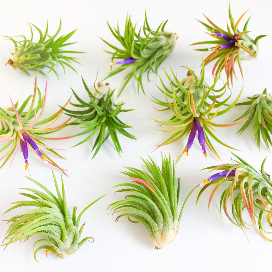 Tillandsia Mexican Fuego Blooming Air Plant; Airplants.