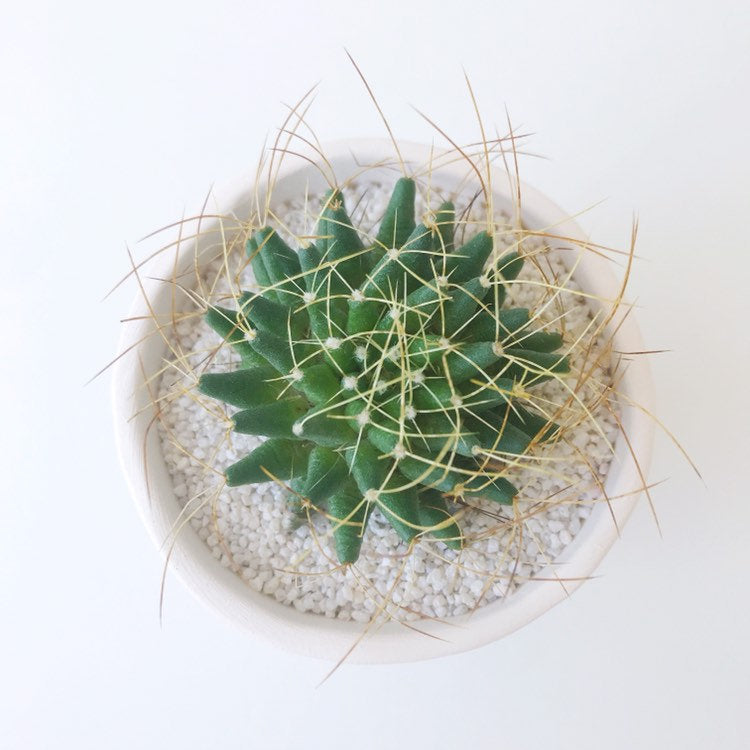 Harrietta Cactus + Handmade Ceramic Planter; Cacti + Succulents.