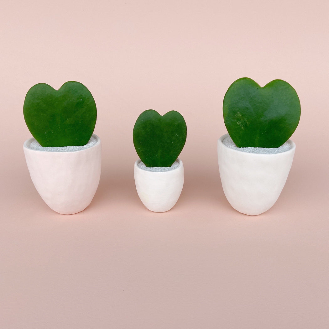 All the Love Succulent Large + Handmade Pink and White Ceramic Planters beside a Medium All the Love Hoya Kerrii Plant that makes a great gift