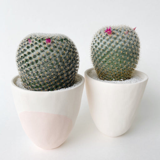 Two large pink blooming cacti named Frances in handmade clay ceramic planters