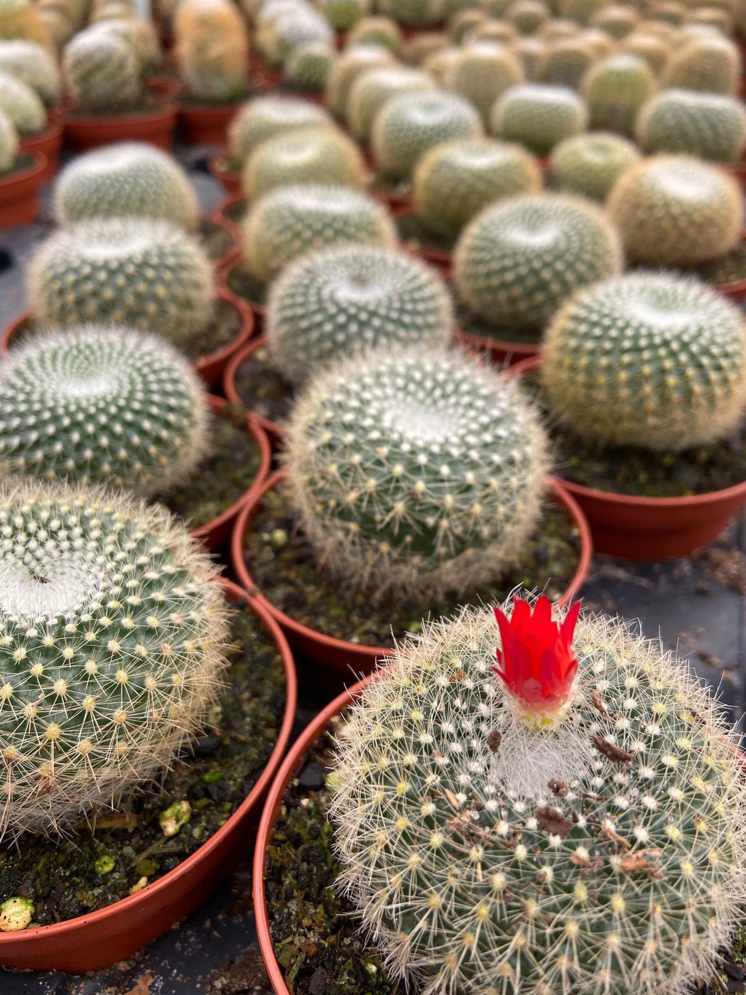 Multiple rows of the barrel cactus named Cortez with the cactus in the front showing a bright red bloom