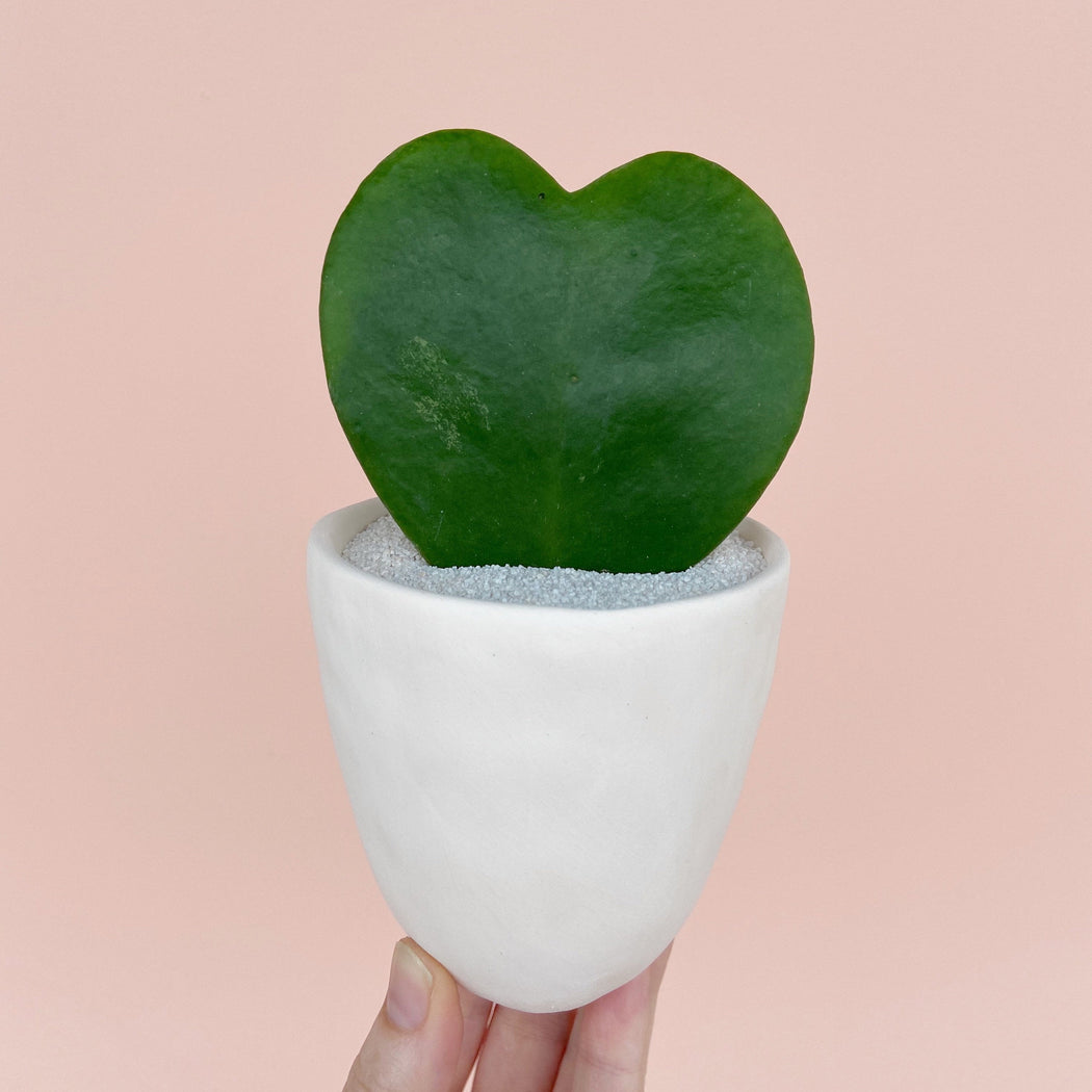 Hand Holding All the Love Succulent Large plant in a White Handmade Ceramic Planter