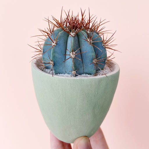 June Blue Cactus + Handmade Ceramic Planter; Cacti + Succulents.
