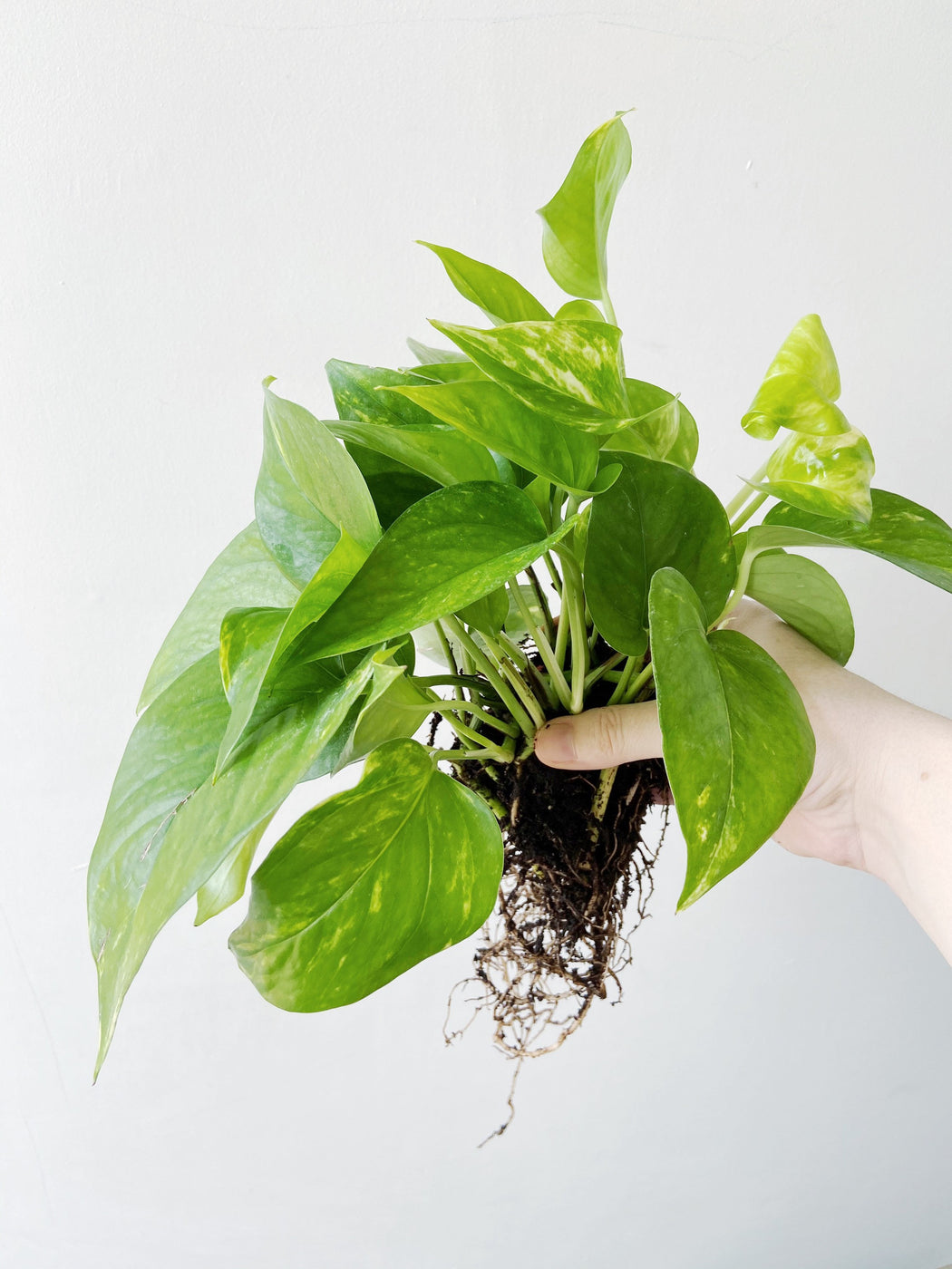 Easiest houseplants to take care of - Golden Pothos