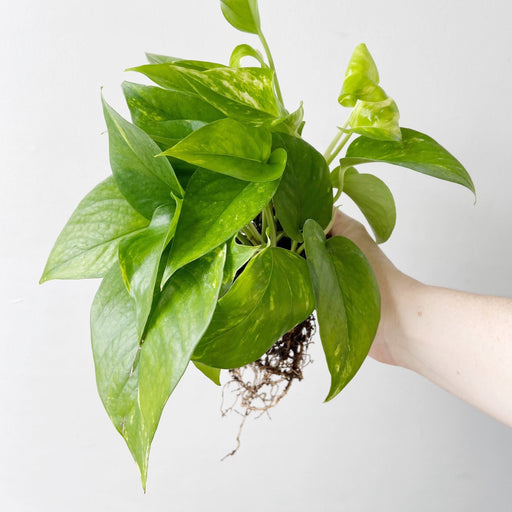 Extremely hardy Golden Pothos plant with yellow variegated color