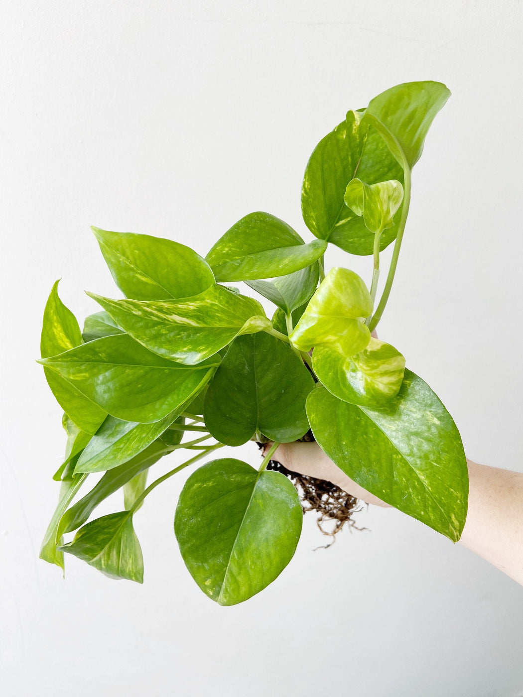 Low maintenance houseplant Golden Pothos