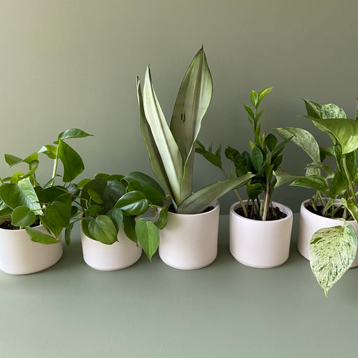 Heartleaf Philodendron + Handmade Ceramic Planter; Houseplants.