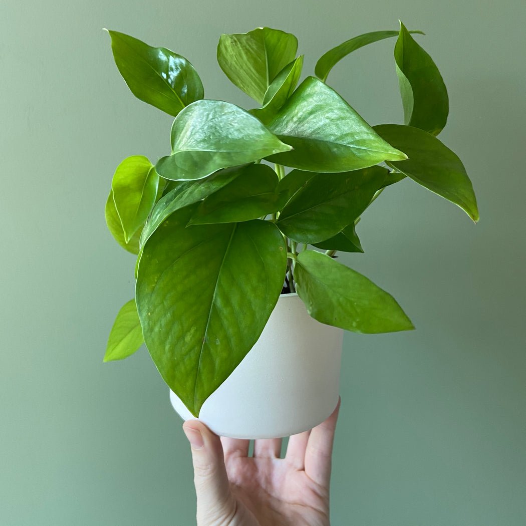 Jade Pothos + Handmade Ceramic Planter; Houseplants.