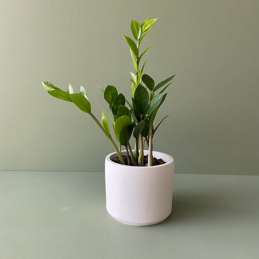 ZZ Plant + Handmade Ceramic Planter; Houseplants.