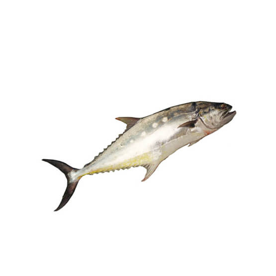 Saram Queen Machli Fish 2kg   (Next Day Delivery)