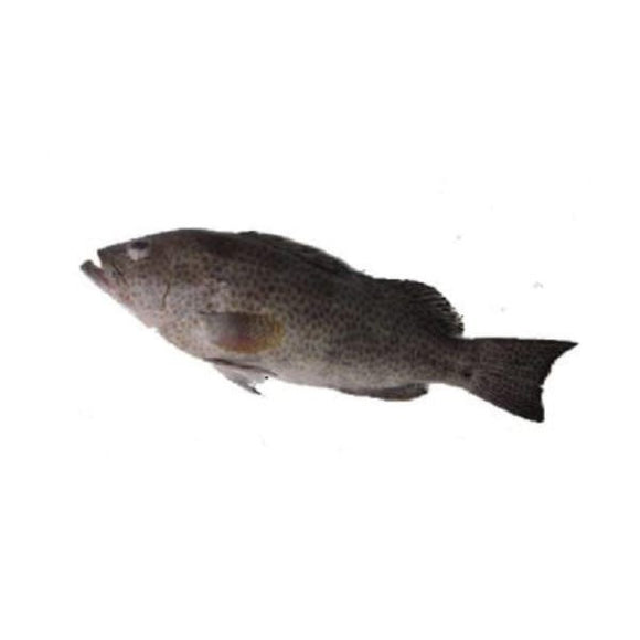 Grouper/hamour (Gissar) 2kg (Next Day Delivery)