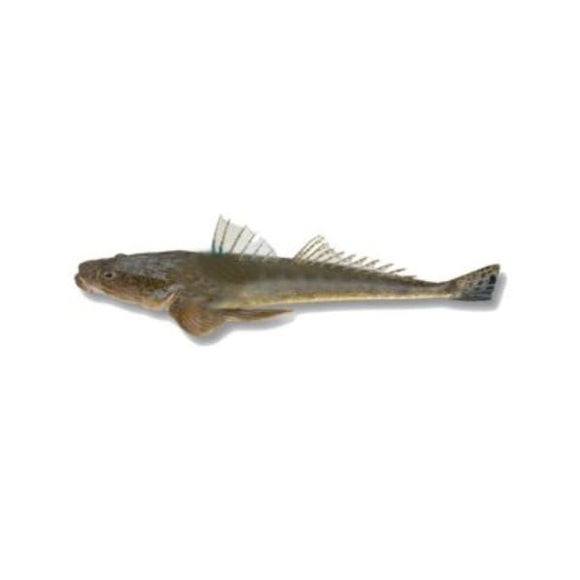 Flathead (Kukkar) 2kg (Next Day Delivery)