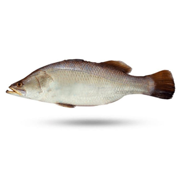 Bhetki Barramundi/ Dangri 2kg (Next Day Delivery)