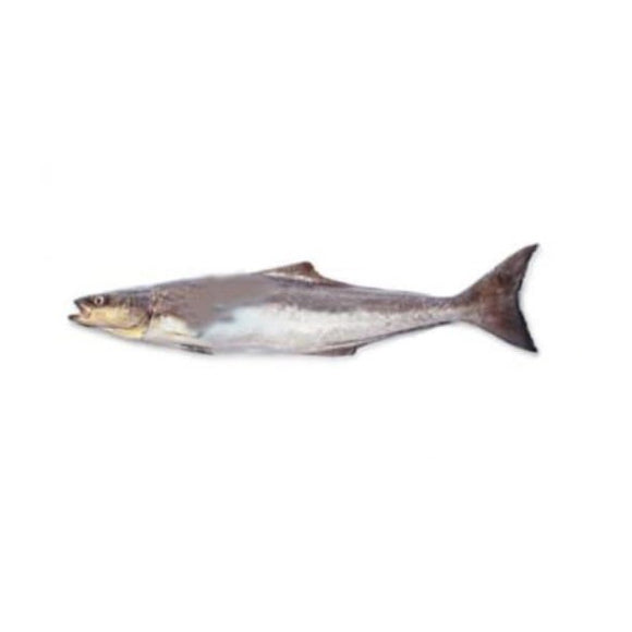 Cobia (Sangra) 2kg (Next Day Delivery)