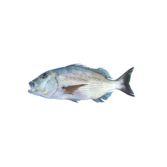 Dentex (Daathi) 2kg (Next Day Delivery)