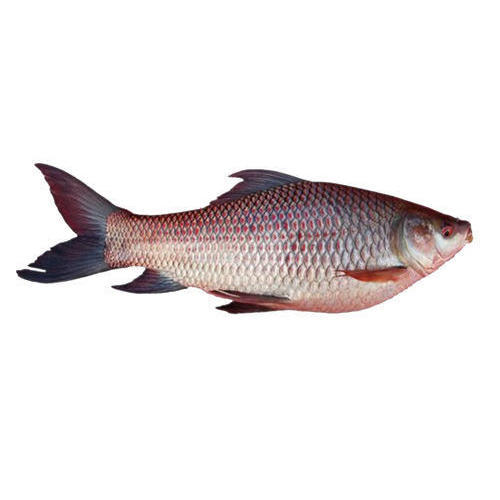 Rahu Badi Machli Fish Large 2kg