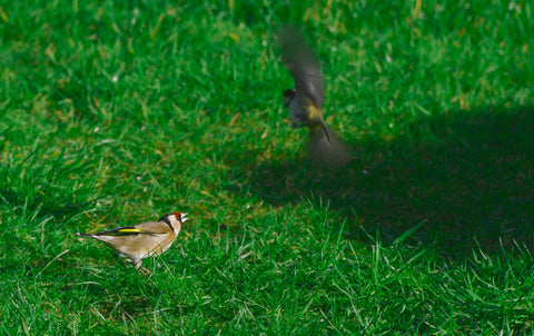 Goldfinch on the ground with a great tit flying away
