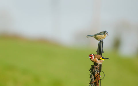 Goldfinch on a feeder with a blue tit.
