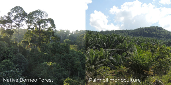 Two photos taken in Borneo, On the left, native borneo forest. On the right, palm oil tree monoculture.