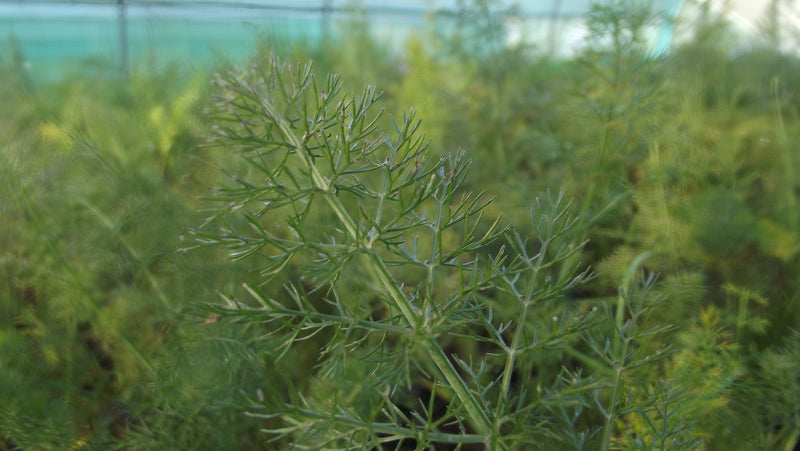 Herb guide: Fennel
