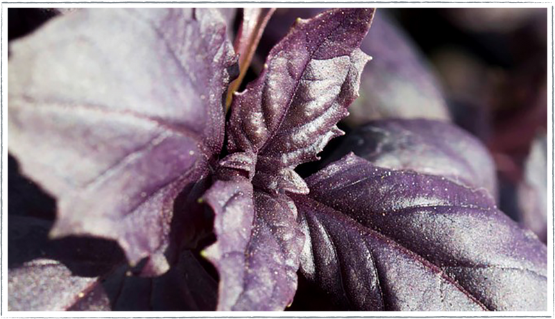 Basil-purple