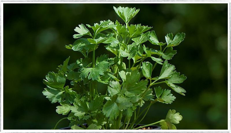 Parsley-flat-leaf