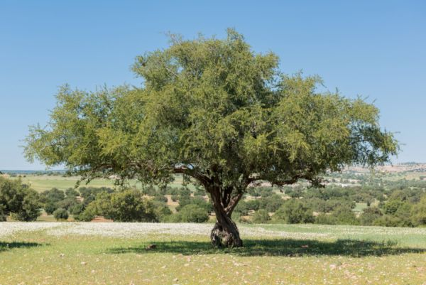Argan Oil vs. Tea Tree Oil