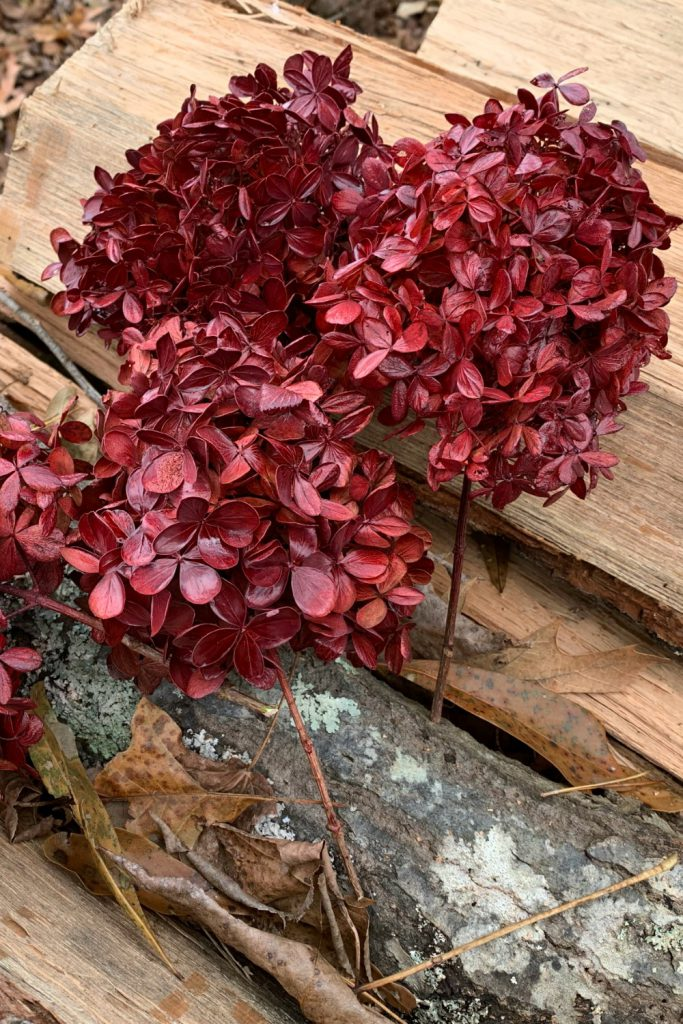 painted dried hydrangeas. red flowers
