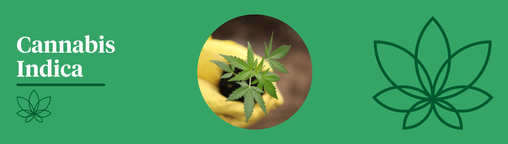 A green background with the Supreme CBD logo to the right with an image in the centre of a person wearing yellow gloves lifting a small Cannabis Indica plant out of the ground. Showing the difference between indica and sativa.