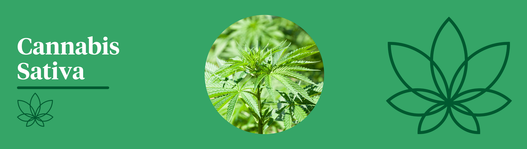 A green background with the Supreme CBD logo to the right of the image with a close up image of the Cannabis Sativa plant in the centre showing the difference between indica and sativa.