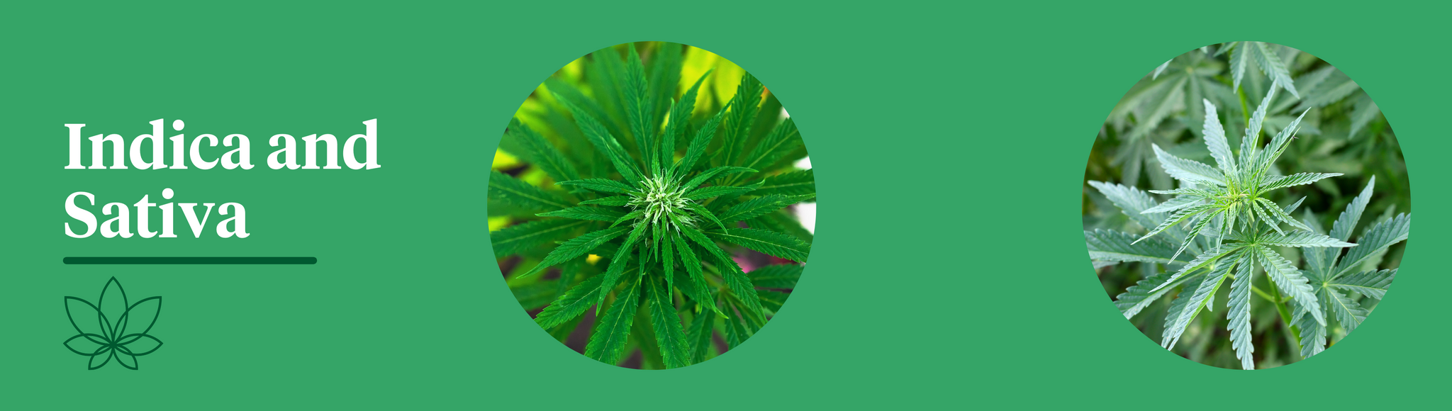 A green background showing the Cannabis Indica and Cannabis Sativa plants to show what is the difference between indica and sativa.