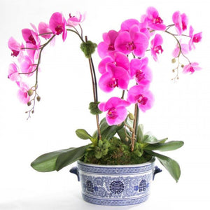 Double Stem Orchid in Blue and White Planter