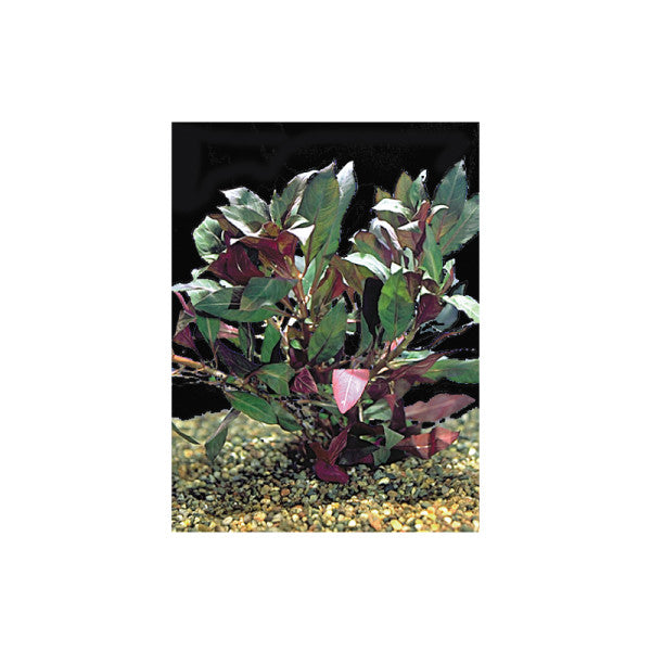Tetra - Plant Plus Red Ludwigia