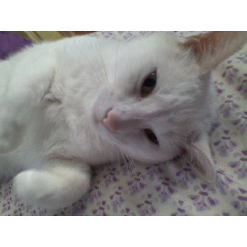 Picture of Highness, cute white cat