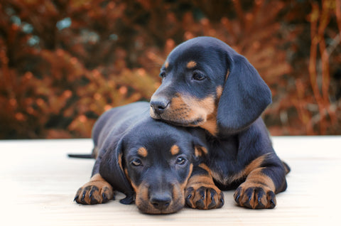 Dachshund Puppies, How to Make a Pup Cup for Your Ice Cream Shop