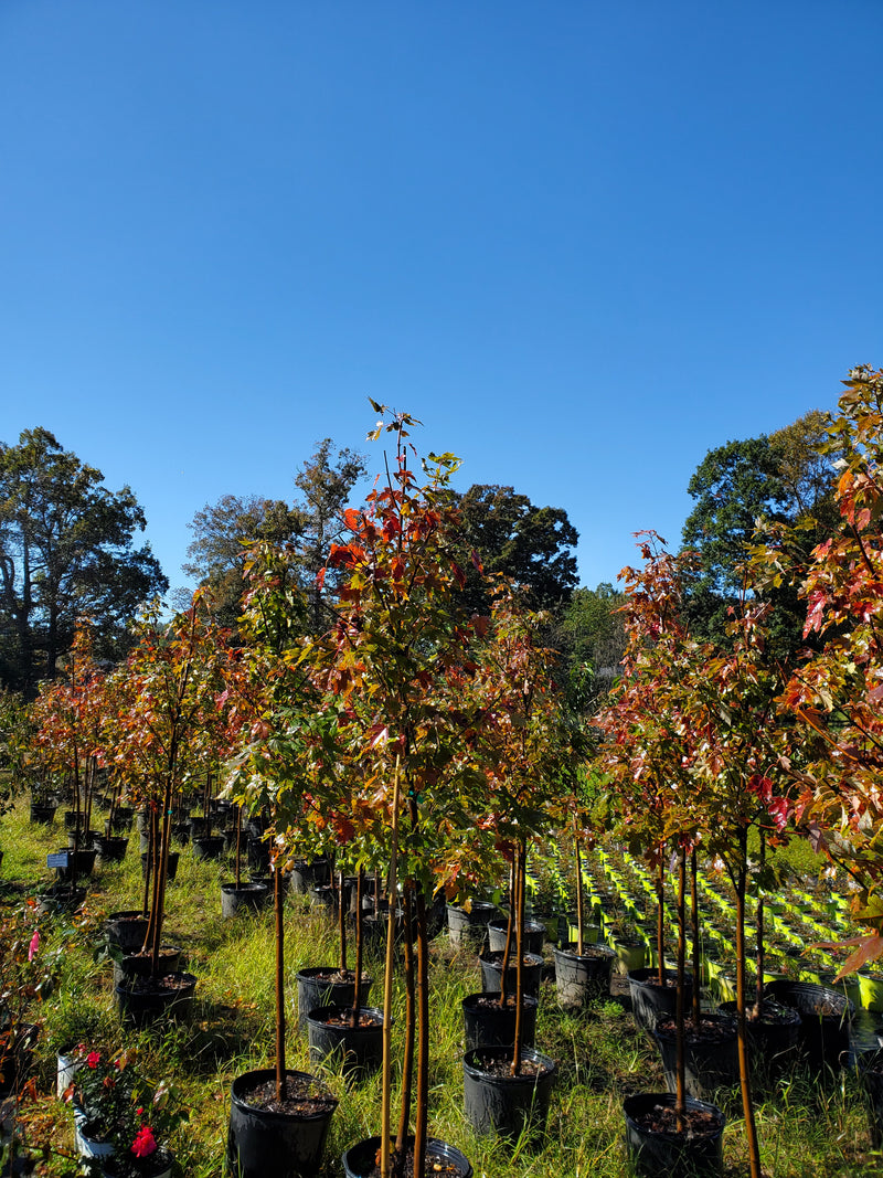 Autumn Blaze Maple Trees just for you
