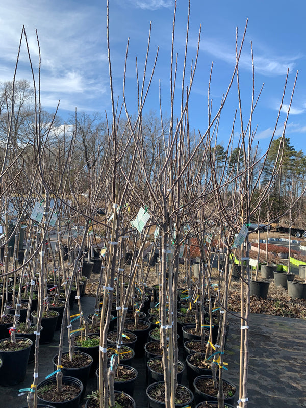 Planting Dormant Fruit Trees