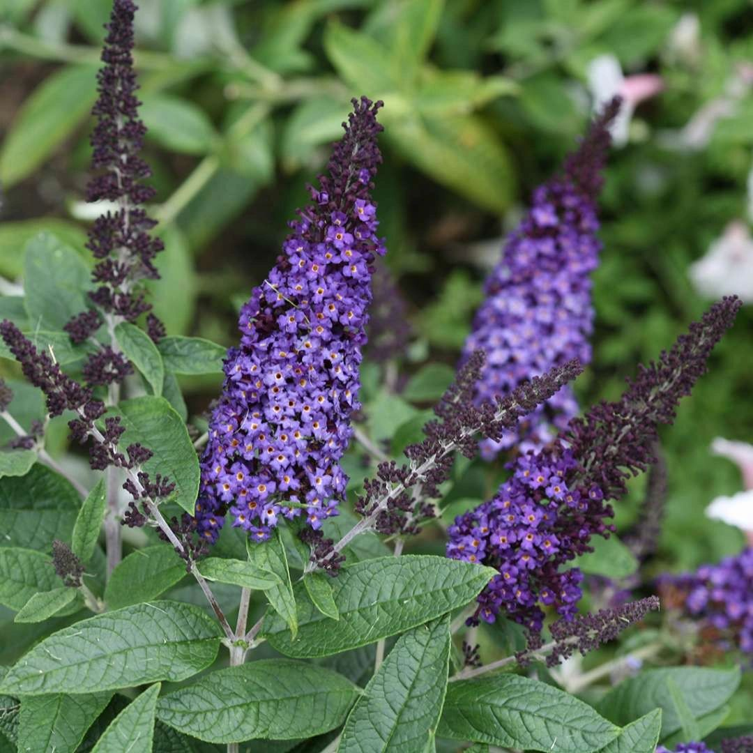 Buddleia Proven Winners® Pugster BLUE® Butterfly Bush