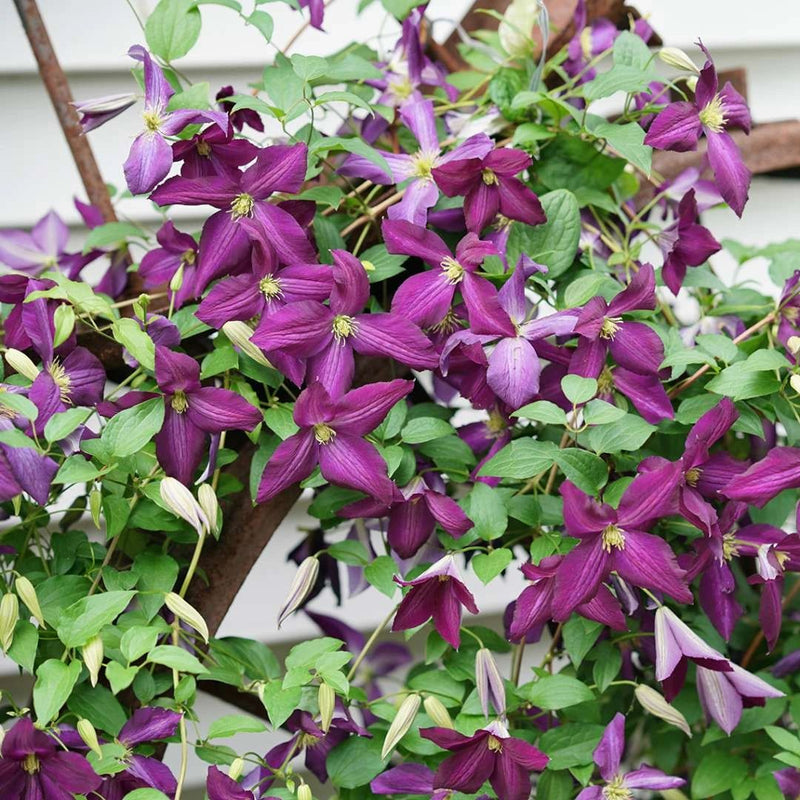 Clematis Proven Winners Happy Jack® Purple