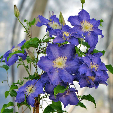 Clematis Proven Winners BROTHER STEFAN®