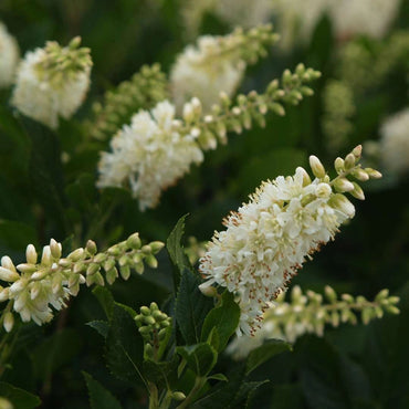 Clethra Proven Winners Sugartina® 'Crystalina'